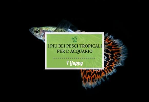 I Guppy. I più bei pesci tropicali per il tuo acquario