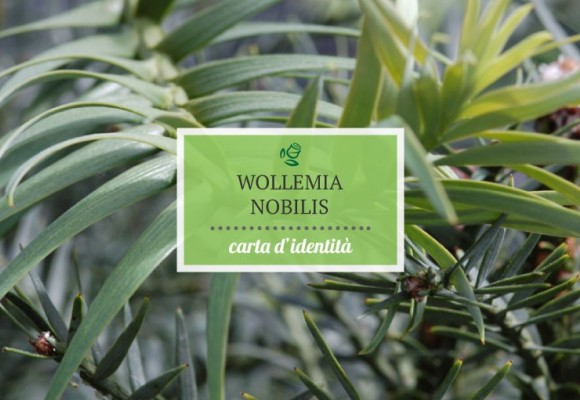 Carta d'identità del Wollemi Pine – Wollemia nobilis