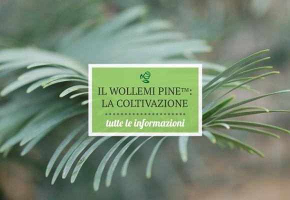 Come coltivare il Wollemi Pine (Wollemia nobilis)